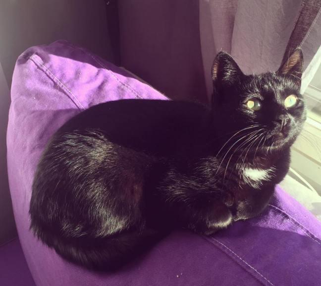 Kuva Tähti-Igorista, joka on kaunis musta kissa valkoisella medaljonkimaisella täplällä kaulassa. Hän makaa lilan sohvatyynyn päällä auringossa.